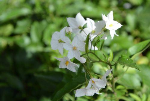 flowers white flowers green foliage