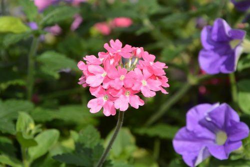 flowers plants pink