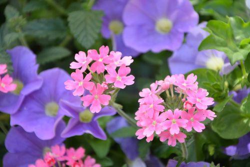 flowers mauve pink plants