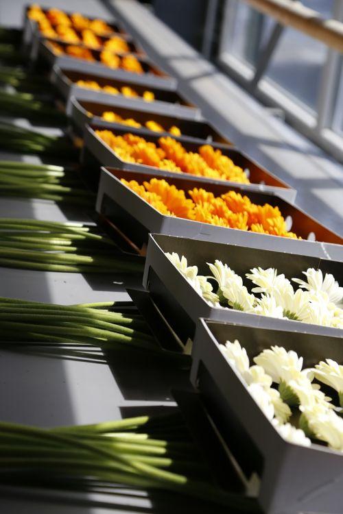 gėlės,bloemendens,belgian,veisimas,dauginimas,augalai,Gerbera,Gerbera Daisy,tau,dens,dirbti,konservatorija