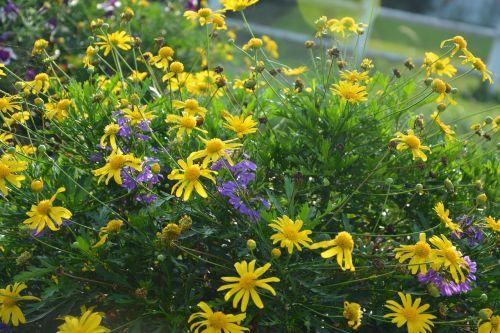 gėlės,masyvas,parterre,sodas,gamta,botanikos sodas,didžiulė puokštė,gėlių sodas,geltonos gėlės,botanika