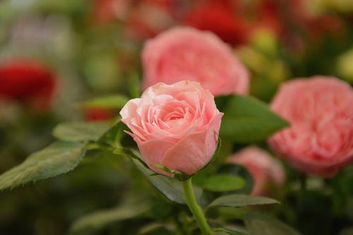 flowers pink rosebush