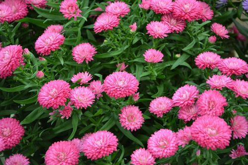 flowers pink color pink