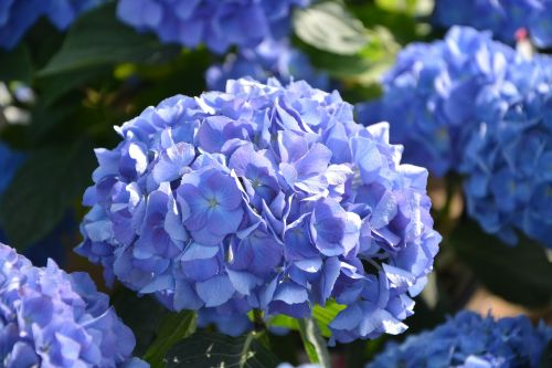 flowers hydrangea blue flowering plant