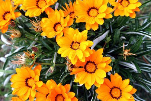 gėlės,sodas,gamta,Namai ir sodas,geltona,gėlių vasara