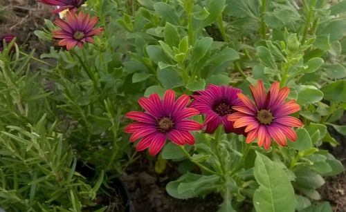 flowers garden rosemary