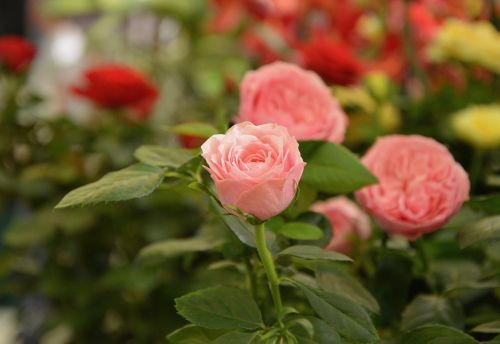 flowers roses color pink