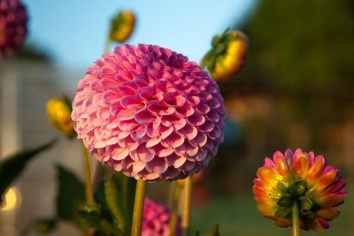 flowers dahlias garden