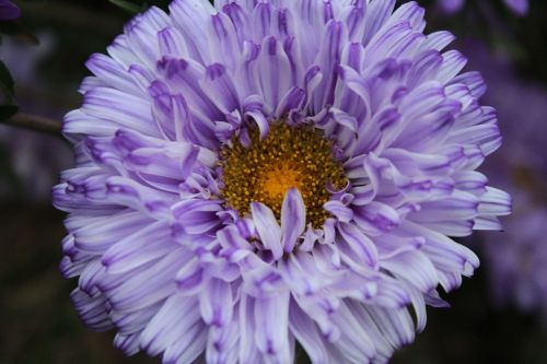 flowers purple asters