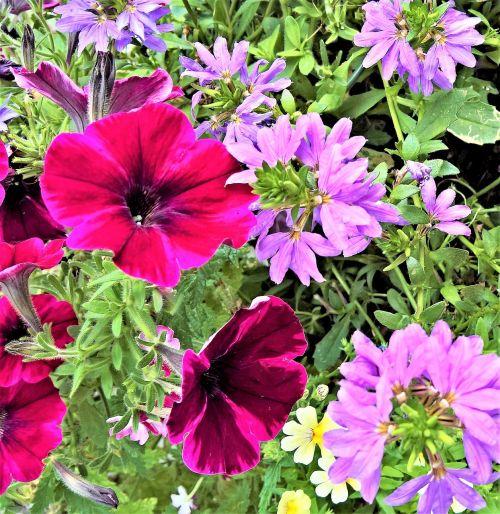 flowers dark red petunias violet pelargonium