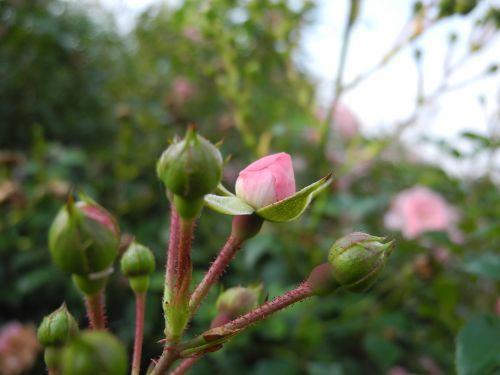 flowers rosebuds pink