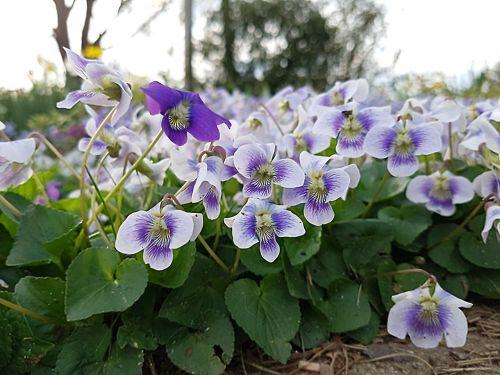 flowers cyclamen garden