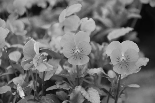 flowers photo black white plants flowering