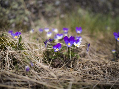 flowers pansy viola tricolor
