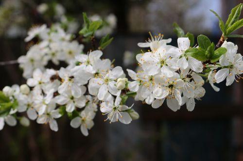flowers bloom tree