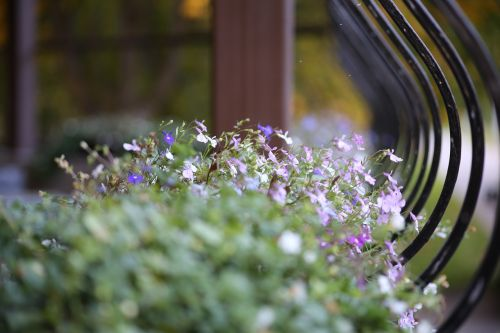 flowers lobelia beds