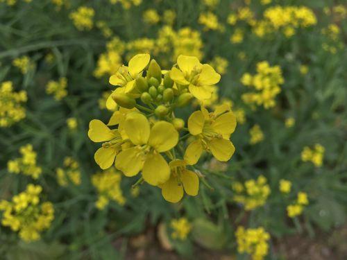 flowers mustard yellow