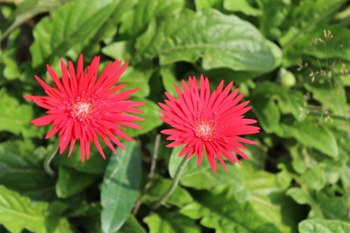 flowers red summer