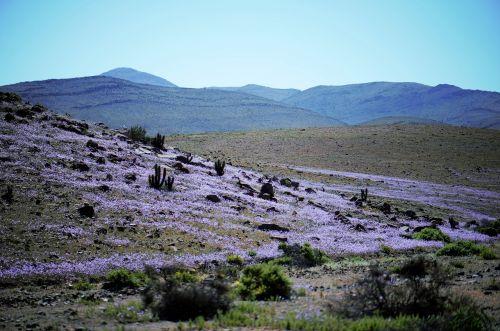 flowers flowering desert atacama
