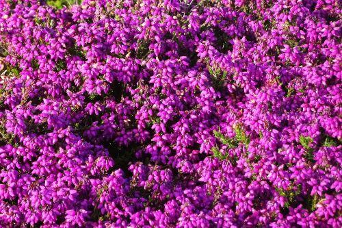 flowers purple heather