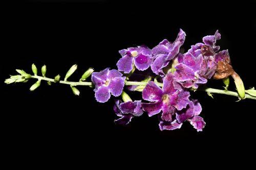 flowers purple guayacan