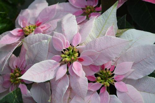 flowers princettia pink flowering plant