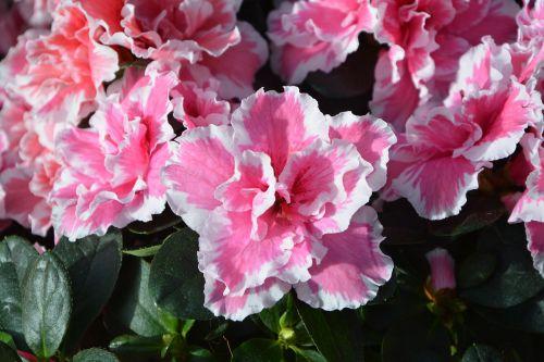 flowers azalea pink white