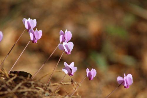 flowers autumn cyclamen