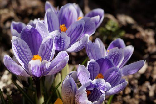 flowers crocus blue
