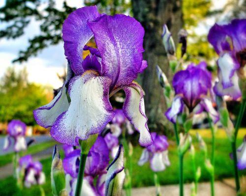 flowers purple white
