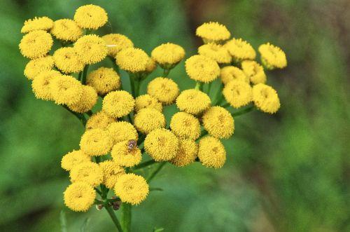 flowers yellow beetle
