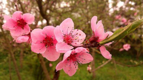gėlės,žydėti,žydintis medis,pavasaris,gėlė,rožinė gėlė,filialas