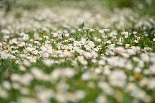 flowers prato daisies