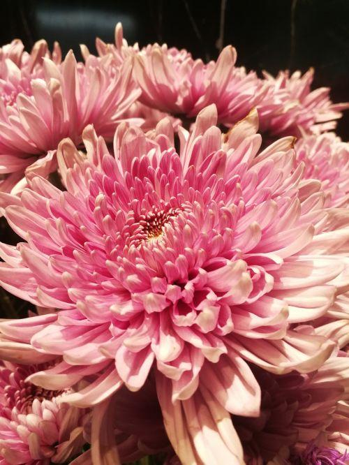 flowers flower pink