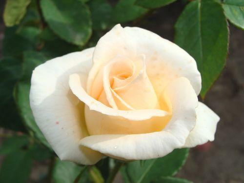 flowers rose roses