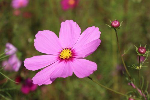flowers petals rose petals