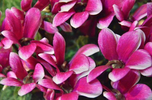flowers cyclamen nature