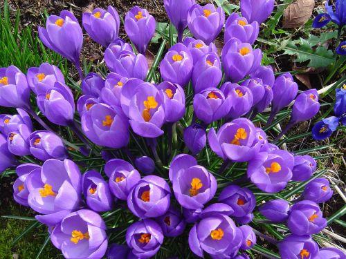 gėlės,pavasaris,gėlių,žiedas,žydėti,augalas,natūralus,flora,vasara,šviežias,žiedlapis,laukas,botanika,stiebas,žydi,pieva,gyvas,gyvas,aromatas,budas,subtilus,egzotiškas,sodininkystė,kvapas,elegancija,trapumas,aromatingas,žiedadulkės,botanikos,kvepalai,augimas,aplinka,elegantiškas,ekologija,eco,bio,ekologiškas,gyvenimas,ekologiškas,ekosistemos,ekologinis
