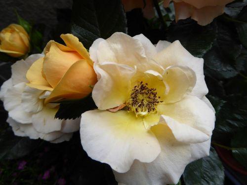 flowers roses close