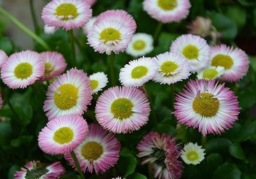 flowers flowers spring daisies