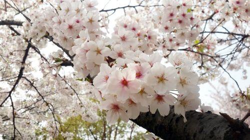 flowers cherry tree quarter