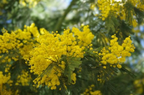 flowers mimosa 8 march