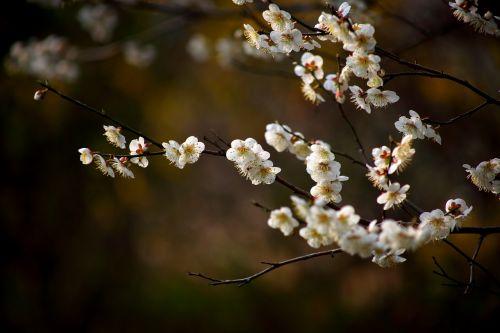 flowers cherry tree wood