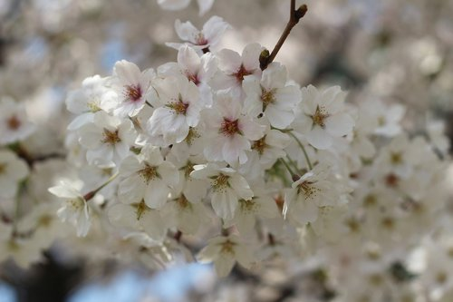 flowers  cherry tree  plants