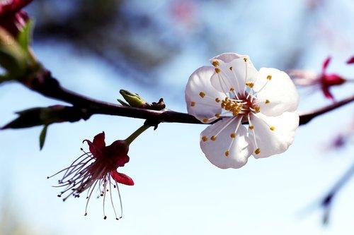 flowers  plum  spring