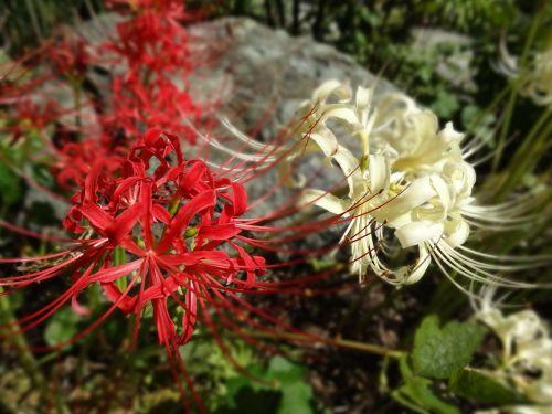 flowers amaryllis plant