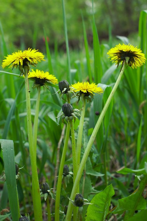 flowers  dandelions  mother and stepmother