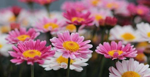 flowers  daisies  nature