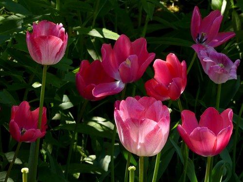 flowers  tulips  tulip bed