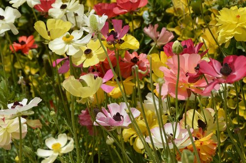 flowers  meadow  anemones